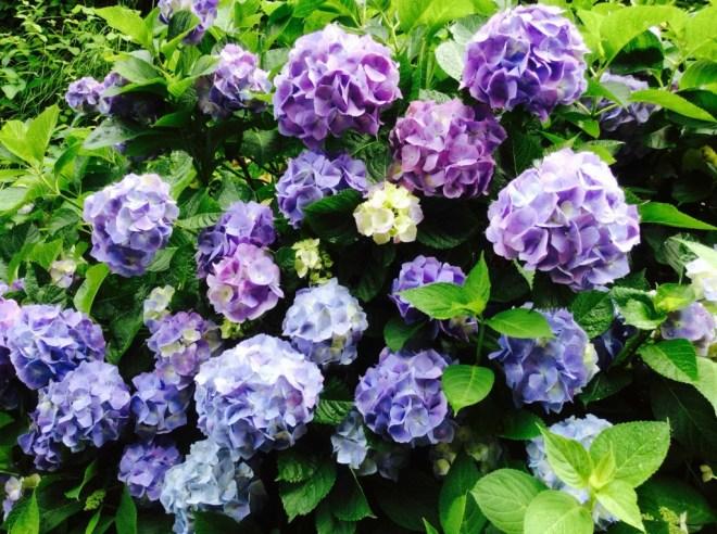 鎌倉紫陽花2_mini-1024x764