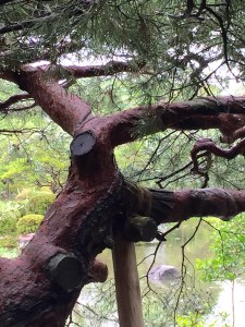 Black pine, heain Shrine