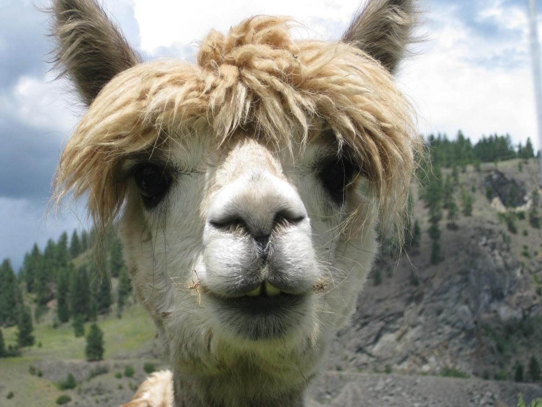 alpaca-656765_1920