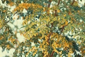 Enormous Benefits of Moringa Tree: Is Moringa Good For You?