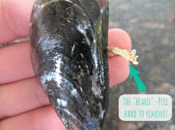 musselbeard