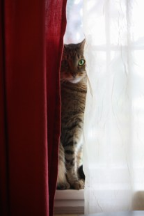 Cat sits on windowsill between two curtains with light hitting one side of face NotSoSAHM