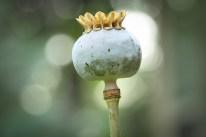A poppy has lost its petals Not So SAHM