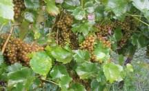 Vineyards - Murphy, NC - #29