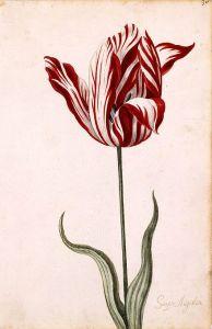440px-semper_augustus_tulip_17th_century