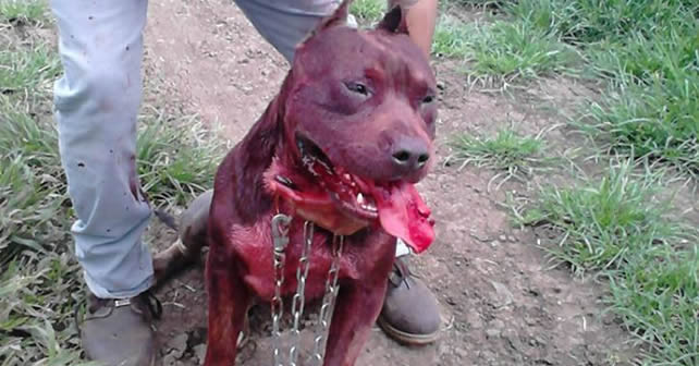 Peleas De Perros Pitbull Clandestinas En Vivo