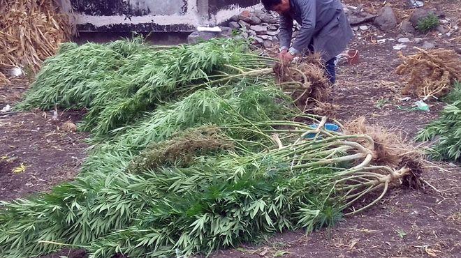 mariguana-uriangato (3)