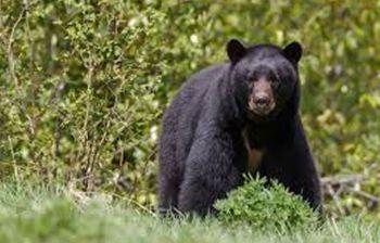 oso negro-guanajuato-notus