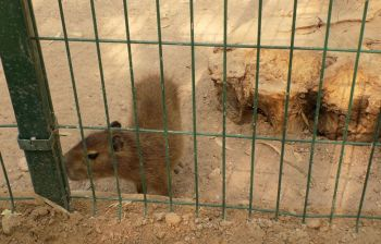 osos capibara-notus