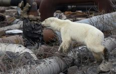 oso polar-notus