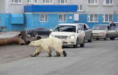oso polar-notus2