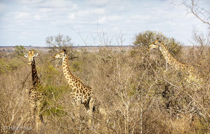 herd of giraffes on my best safari in africa