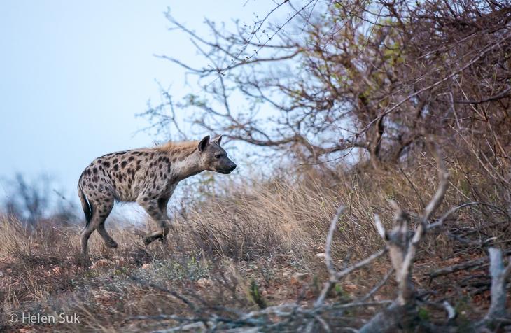hyena in timbavati seen on a south africa safari
