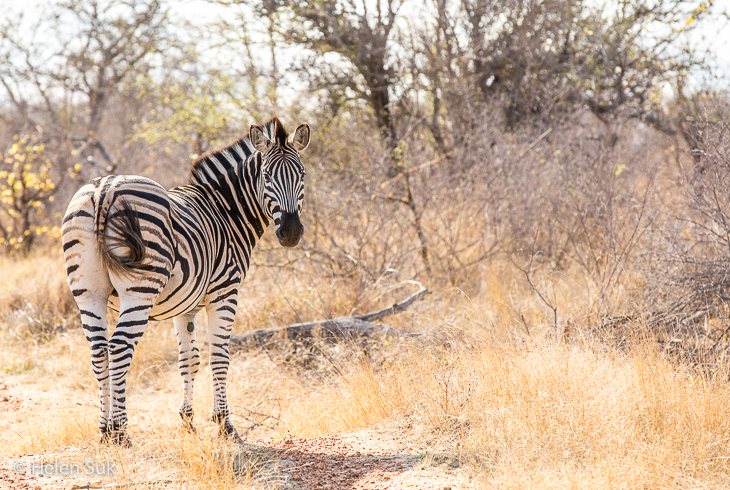 south africa picture of zebra