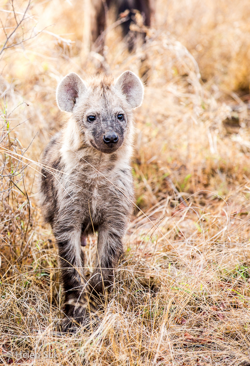 hyena in timbavati south africa safari