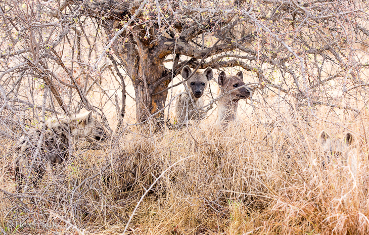 sighting of a pack of hyenas while a south africa safari in timbavati private game reserve