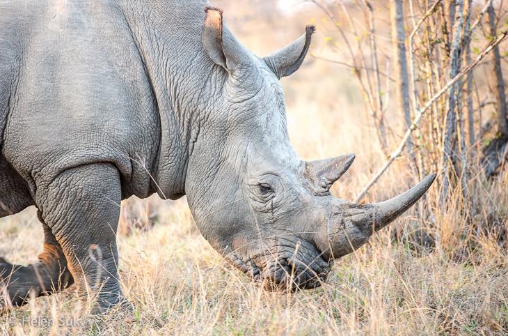 white rhino in timbavati game reserve south africa