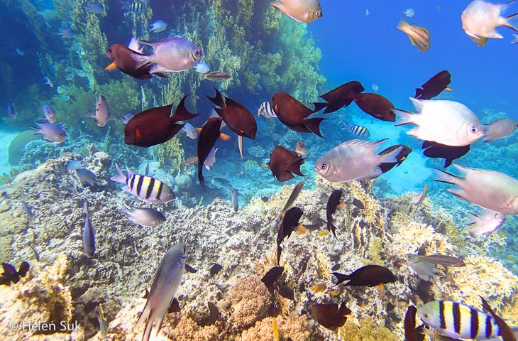 red sea, aqaba, jordan, tropical fish