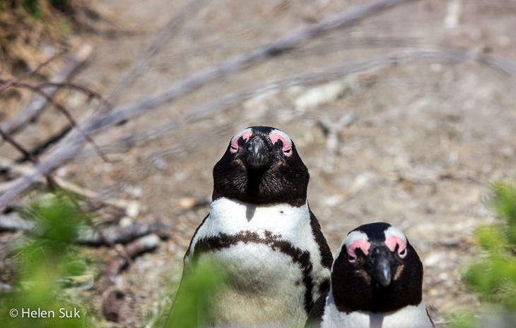 close-up of two penguins at boulders beach south africa