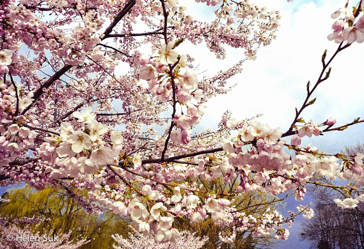 cherry blossoms in high park toronto canada