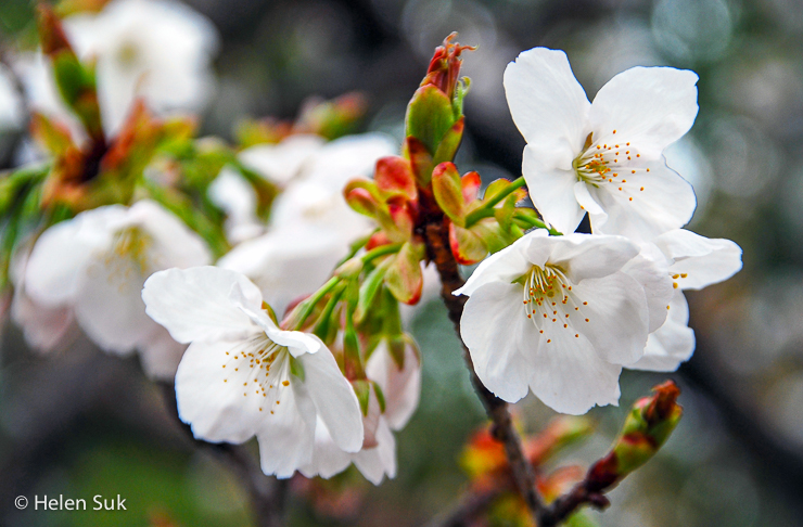 close-up of cherry blossom flowers in japan