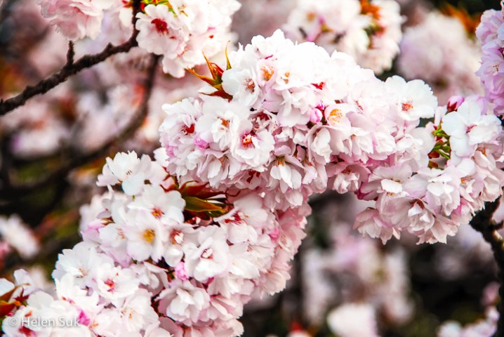 The Meaning of Cherry Blossoms in Japan  Life  Death and Renewal japanese sakura flowers in full bloom