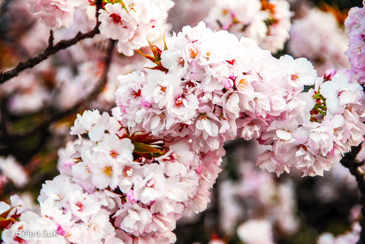 cherry blossoms meaning in japanese culture