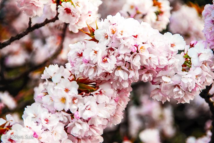japanese sakura flowers in full bloom