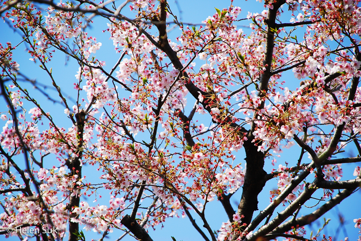 sakura flowers in japan