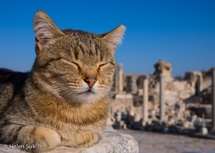 close up of a cat on curetes street in ephesus turkey