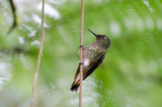 Female Booted Racket-tail