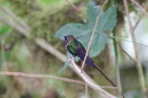 Gorgeted Sunangel Hummingbird.