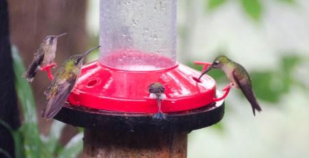 Hummingbirds in the rain.