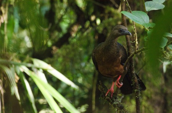 Sickle-winged Guan