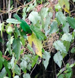 Grass-Green Tanager