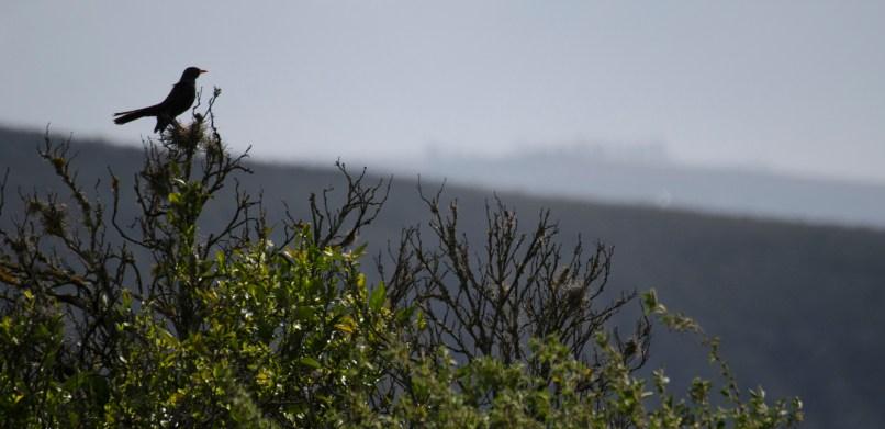 A thrush enjoying the view.