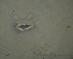 Blue tipped crab that made a grab for my son's toe. Beware cornering the crabs!