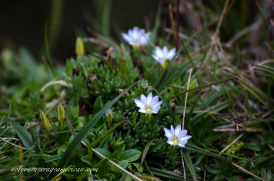 Lligllisisa-sachamor are tiny little flowers less than a centimeter in width.
