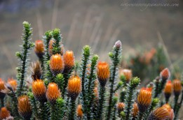 Chuquirahua means tips of the candle in Quichua. This flower is one of the most recognized in the Paramo.