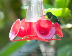 This rare Purple-Bibbed Whitetip hummingbird was just to tired to fly anymore.