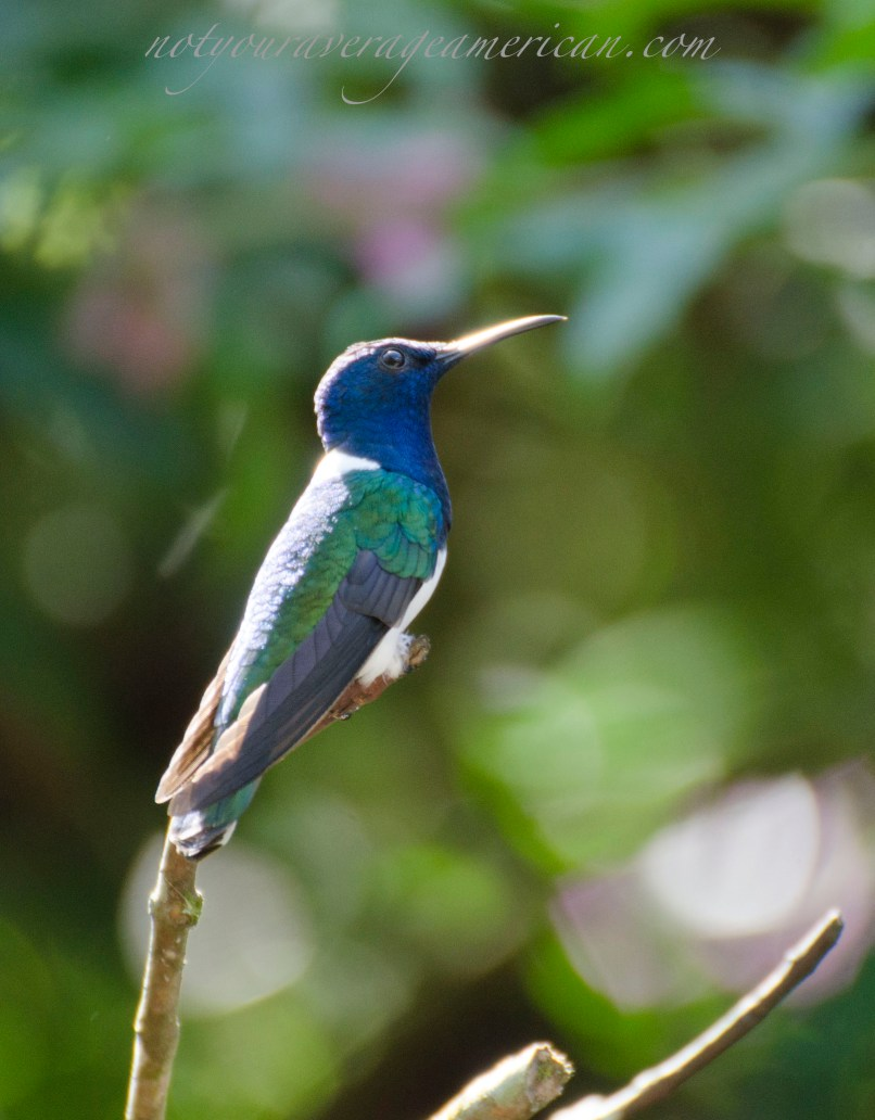 White-necked Jacobin - common hummingbird in the lower sub-tropics.