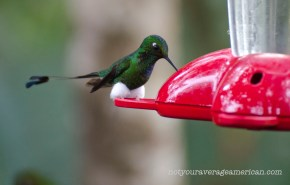 This is a Booted Racket-tail Hummingbird. I wish we knew why he sported such lovely cotton balls.