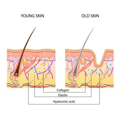 Illustration of how the skin structure changes with age