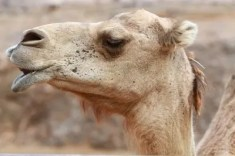 camel looking sideways