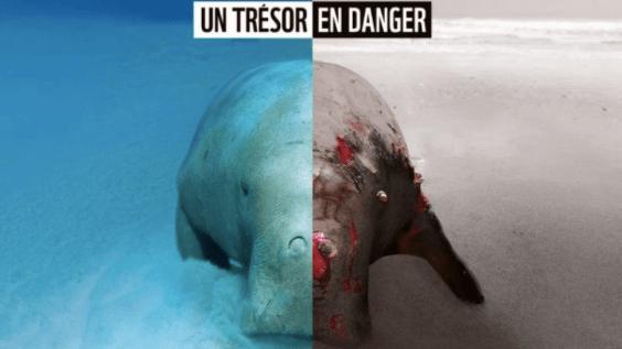 LE MASSACRE D'UN DUGONG À GOUARO BOURAIL