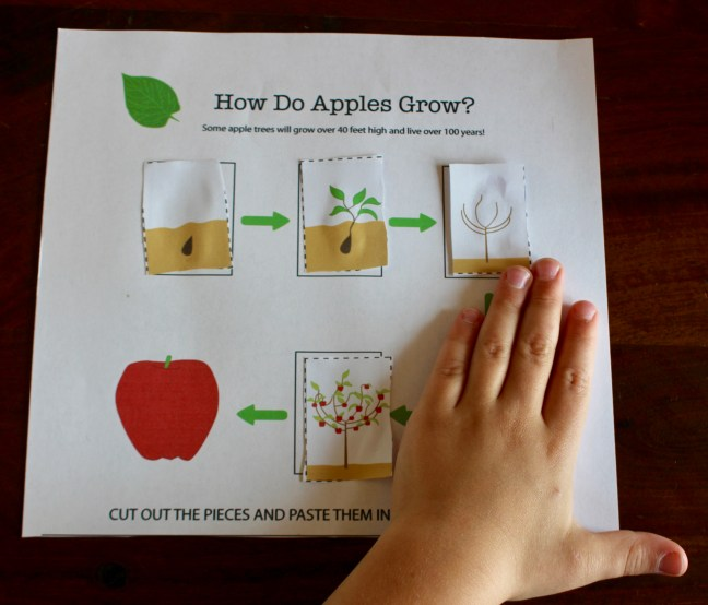 apple tree life cycle