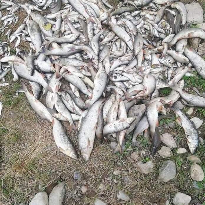 DRŽAVA ĆUTI: Ekocid na Kolubari, potrovali tone ribe amonijakom! 1