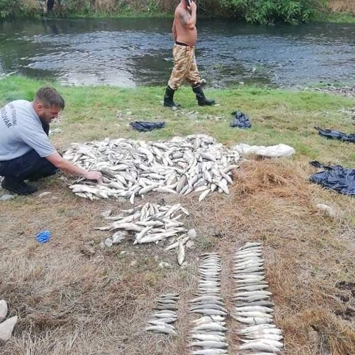 DRŽAVA ĆUTI: Ekocid na Kolubari, potrovali tone ribe amonijakom! 2