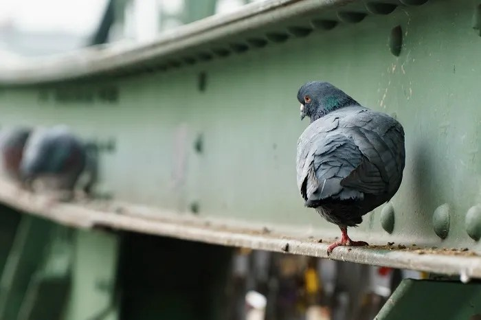 Nettoyage de fientes de pigeons