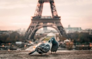Fiente Pigeon